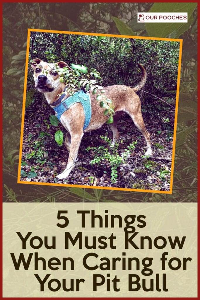 5 Tips To Know When Caring for Your Pit Bull