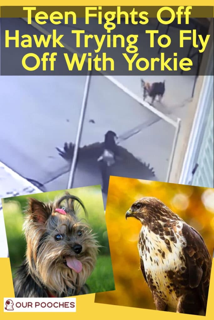 Teen Fights Off Hawk Trying To Fly Away With Yorkie