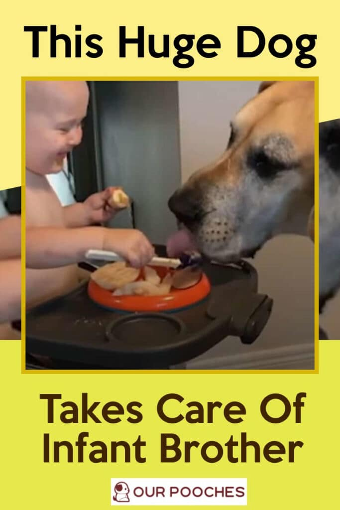 This huge dog takes care of infant brother