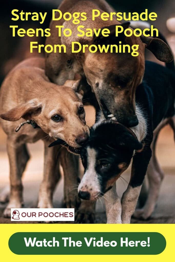 stray dogs save pooch from drowning