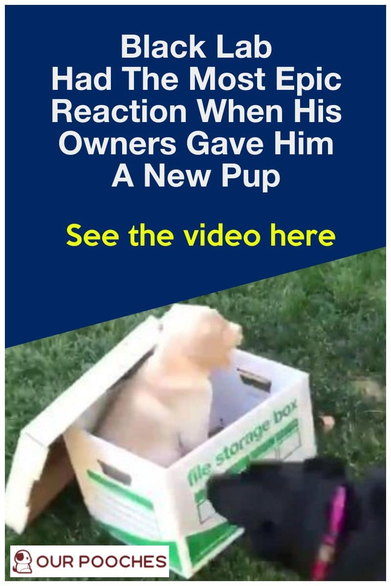 Black lab had the most epic reaction to new puppy