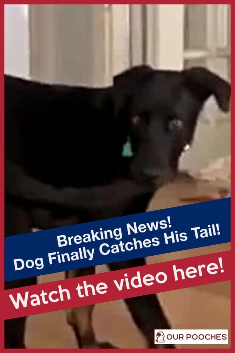 Breaking news - Dog finally catches his tail