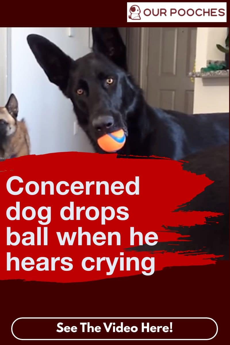Concerned dog drops ball when he hears crying