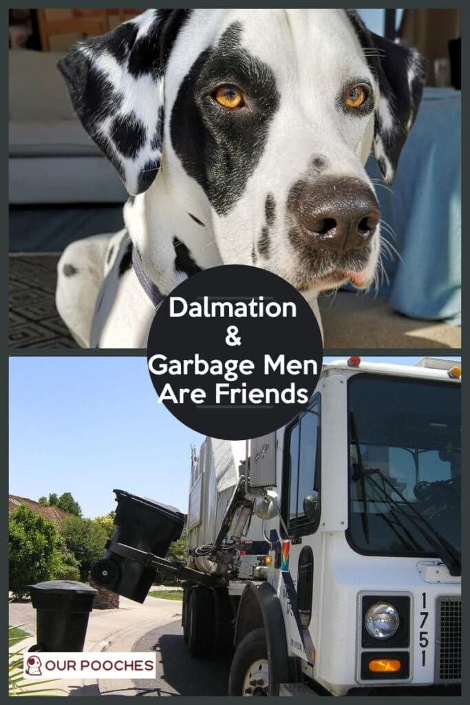 Dalmation and garbage men are friends