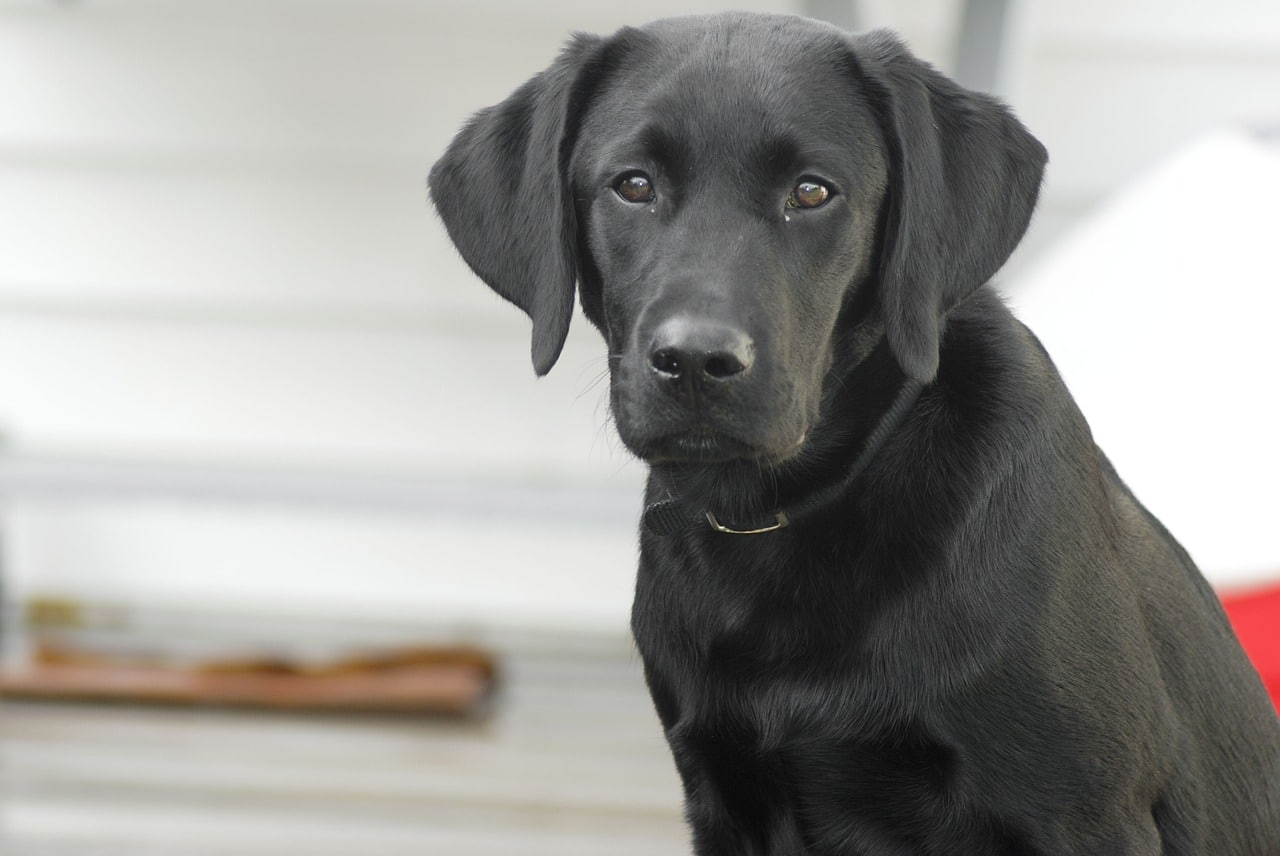 Black Lab Had The Most Epic Reaction When His Owners Gave Him A New Pup