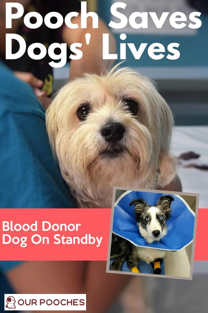 Blood Donor Dog On Standby