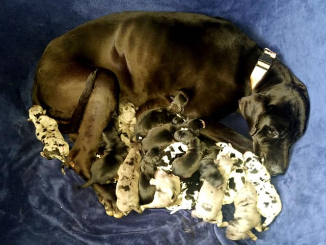 Great Dane with 19 puppies