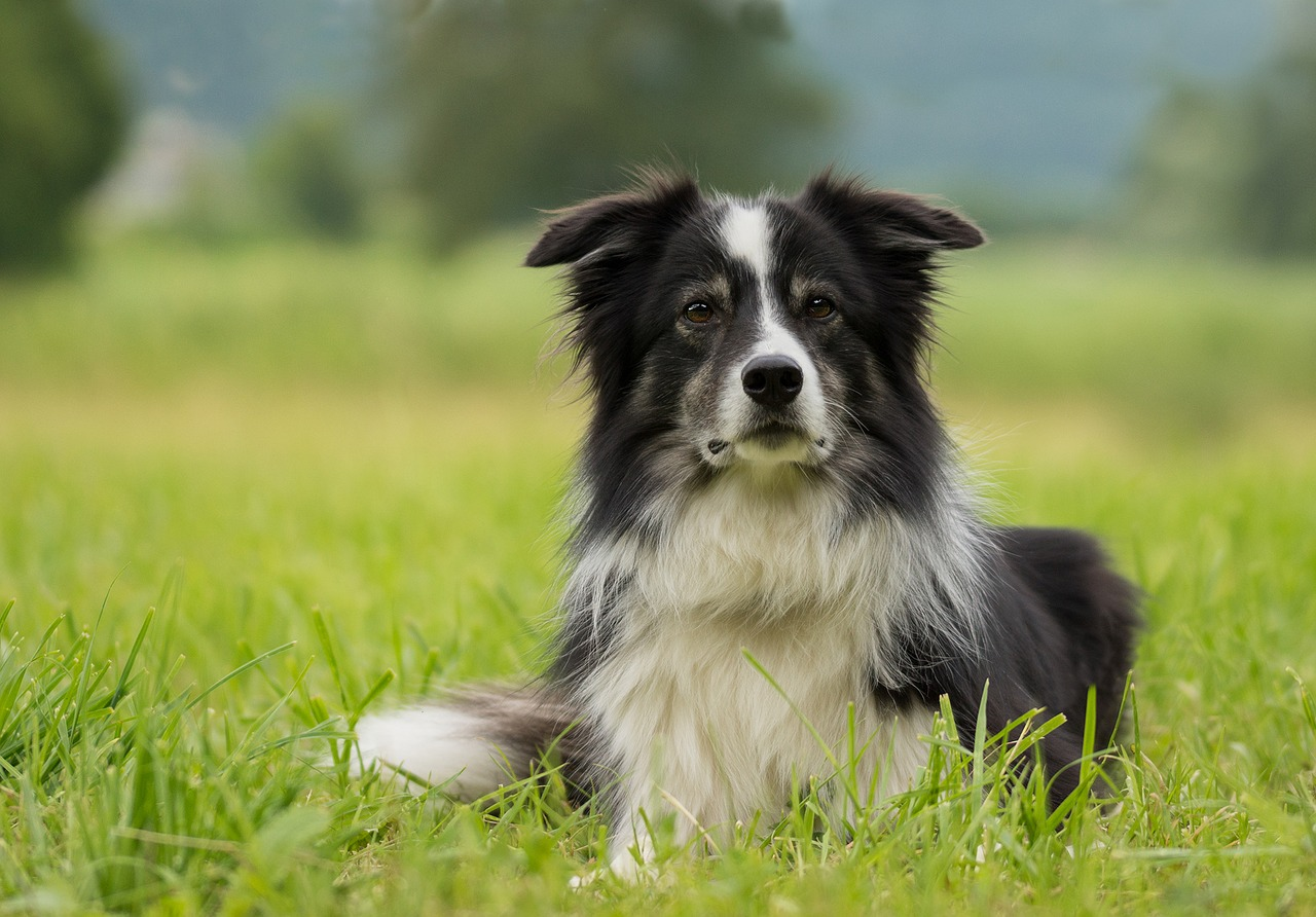 Sheepdog Walks Hundreds Of Miles To Find Way Home