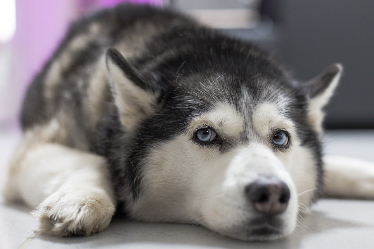 Husky Doesn't Like New Bed And He Wants Mom To Know It