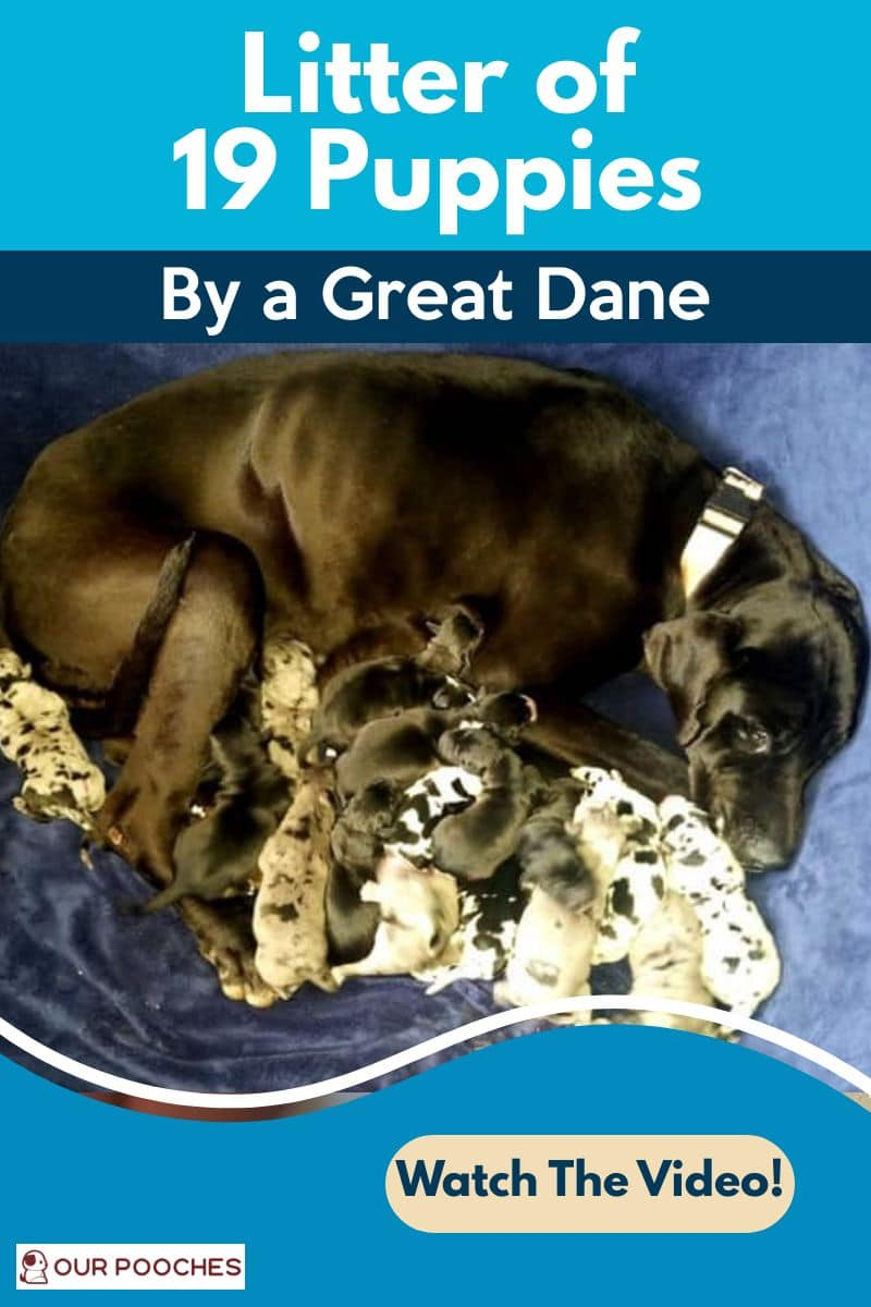 Litter of 19 pups by great dane