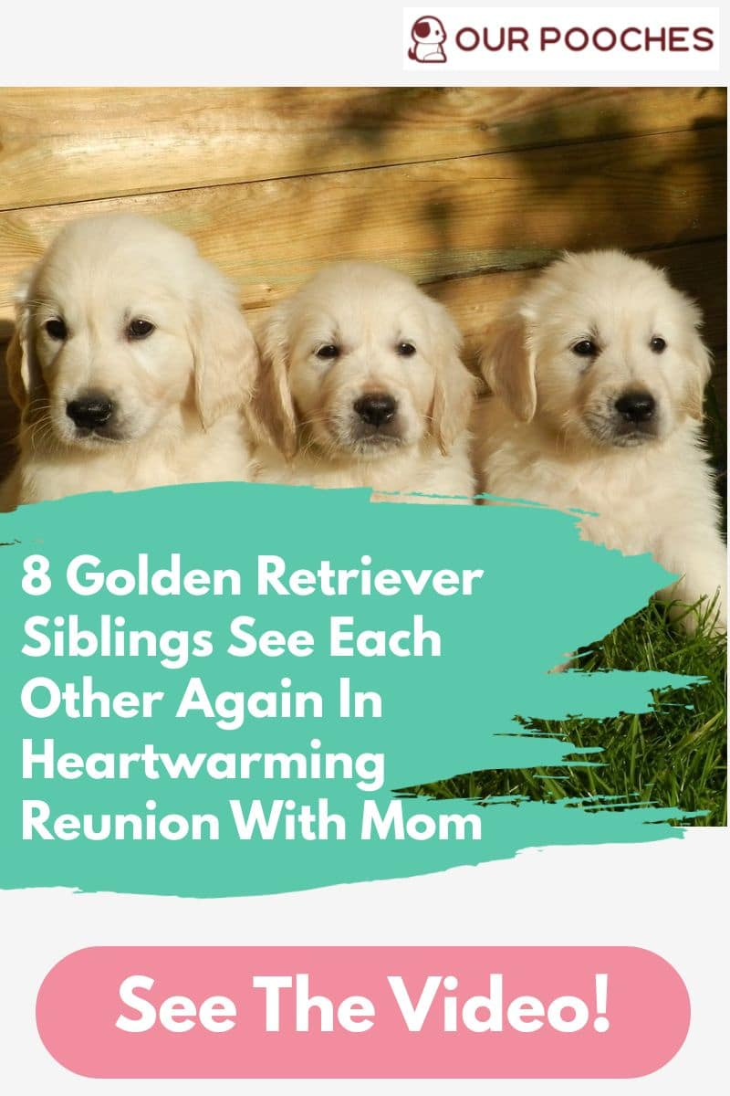 8 Golden Retriever Siblings See Each Other Again In Heartwarming Reunion With Mom