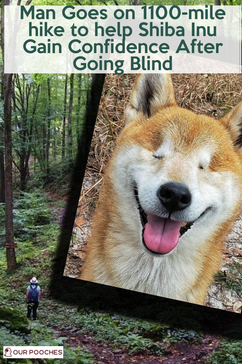 Man Goes on 1100-mile hike to help Shiba Inu Gain Confidence After Going Blind