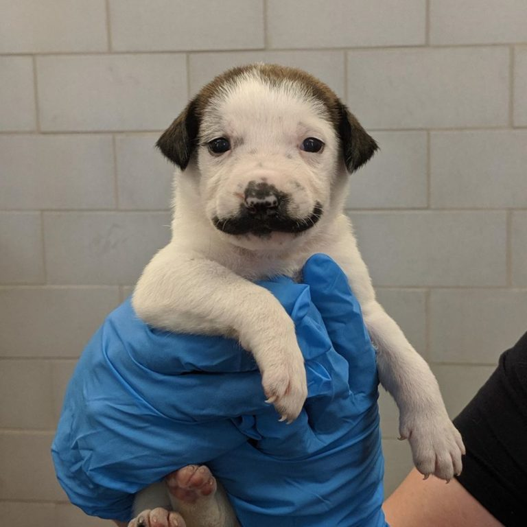 Female Puppy With A Salvador Dali Mustache