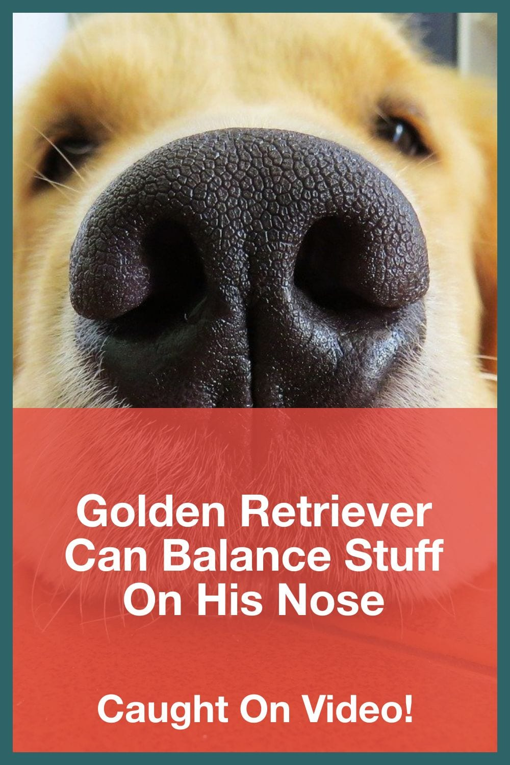 Golden Retriever Can Balance Stuff On His Nose
