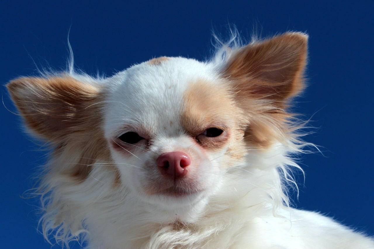 This Chihuahua From Thailand Has An Unusual Face Feature