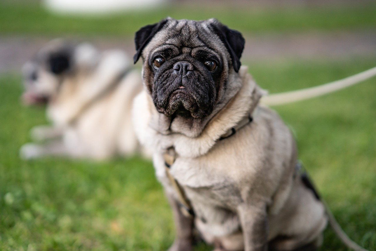 Pug Left In An Alley Was Saved By A Concerned Woman