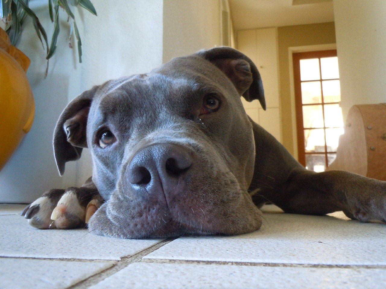 Pit Bull Saves Young Boy From Severe Brain Damage