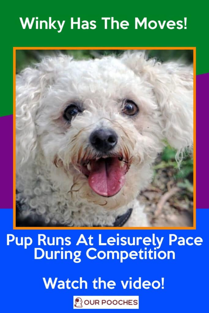 Pup Runs At Leisurely Pace During Competition