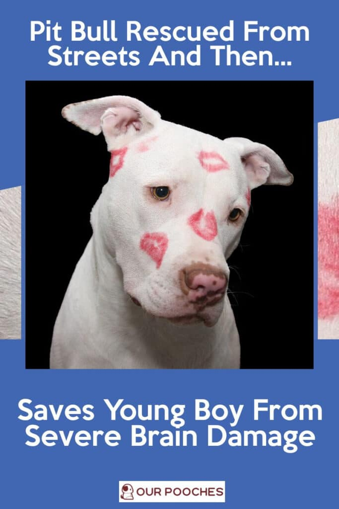 Rescued Pit Bull Saves Young Boy From Severe Brain Damage