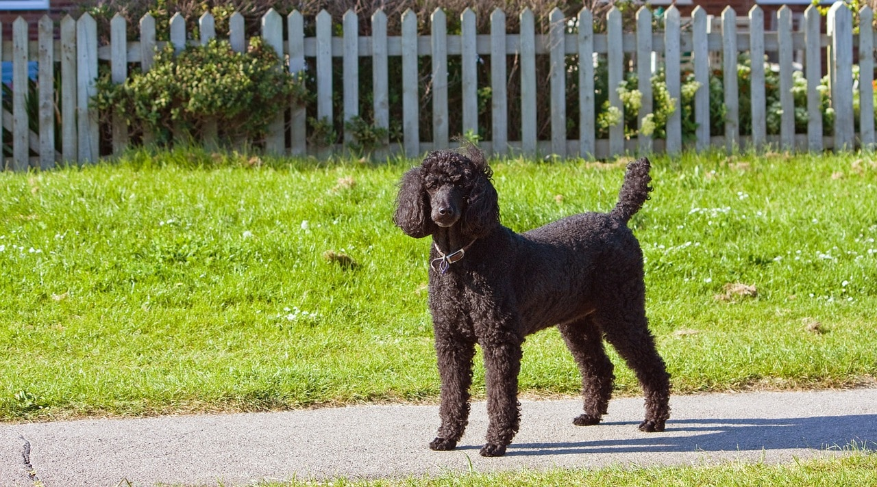 A Standard Poodle Named Siba Has Been Crowned America's Top Dog