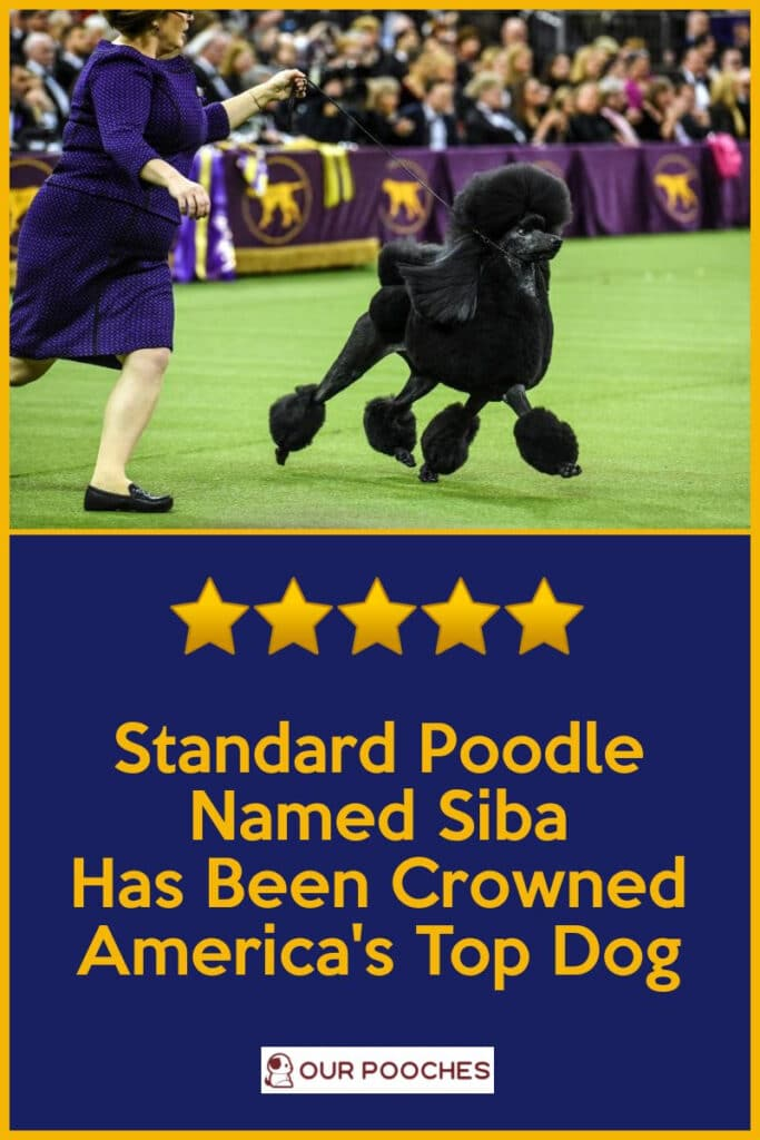 Standard Poodle is America's Top Dog