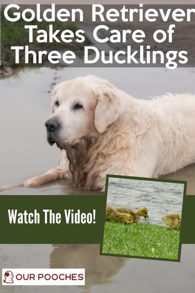 Watch This Golden Retriever Take Care of 3 Ducklings