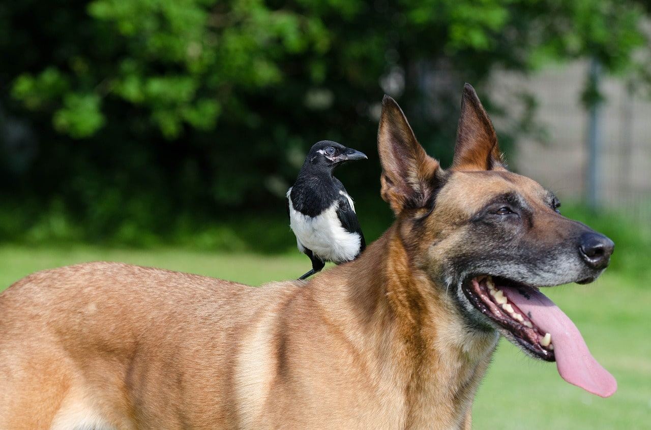 Chihuahua Puppy Found A Best Friend In A Pigeon And It's The Cutest Friendship On The Internet