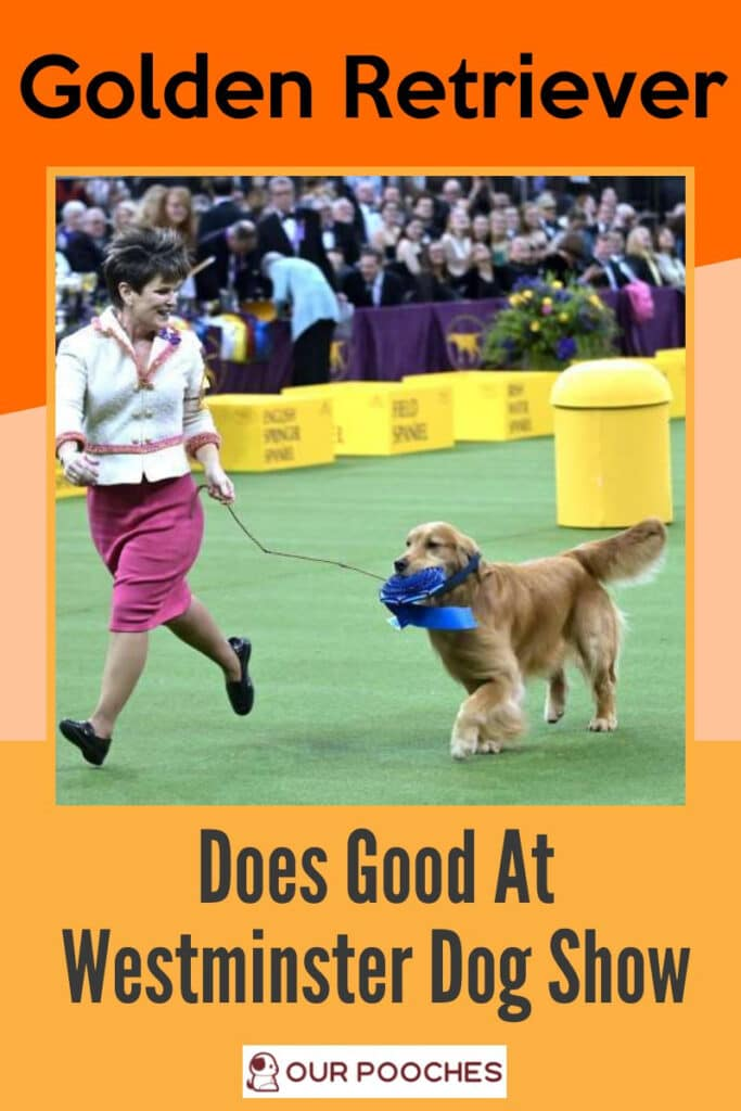 Golden Retriever Does Good At Westminster Dog Show