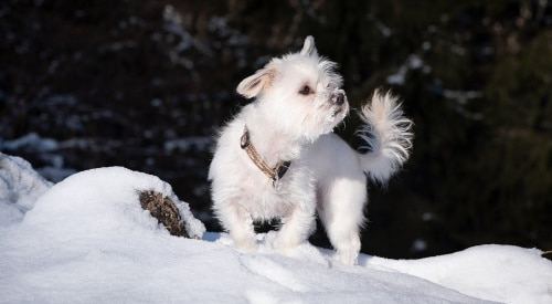 Havanese dogs and kids