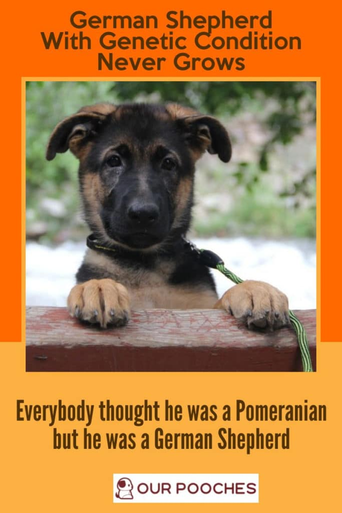 Everybody thought the tiny puppy was a Pomeranian when he was a German Shepherd