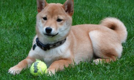 Shibu Inu Puppy Gets Overly Excited When Owner Returns Home