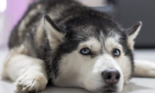 Husky Dog Sings Incredible Duets To Thank Frontliners