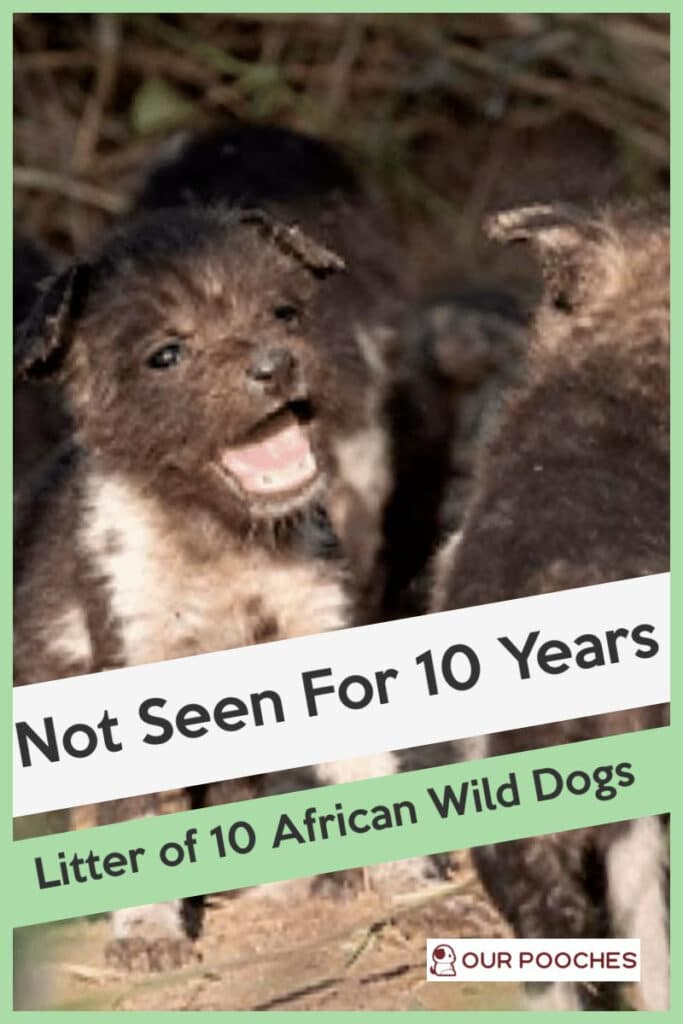 Not seen for 10 years- litter of 10 African Wild Dogs