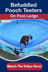 Pooch teeters on pool ledge