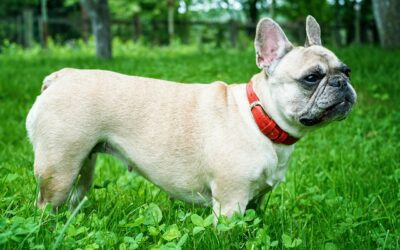 Amanda To The Rescue Cameraman Is So Happy To Adopt A Rescue French Bulldog Featured On The TV Show He Works For