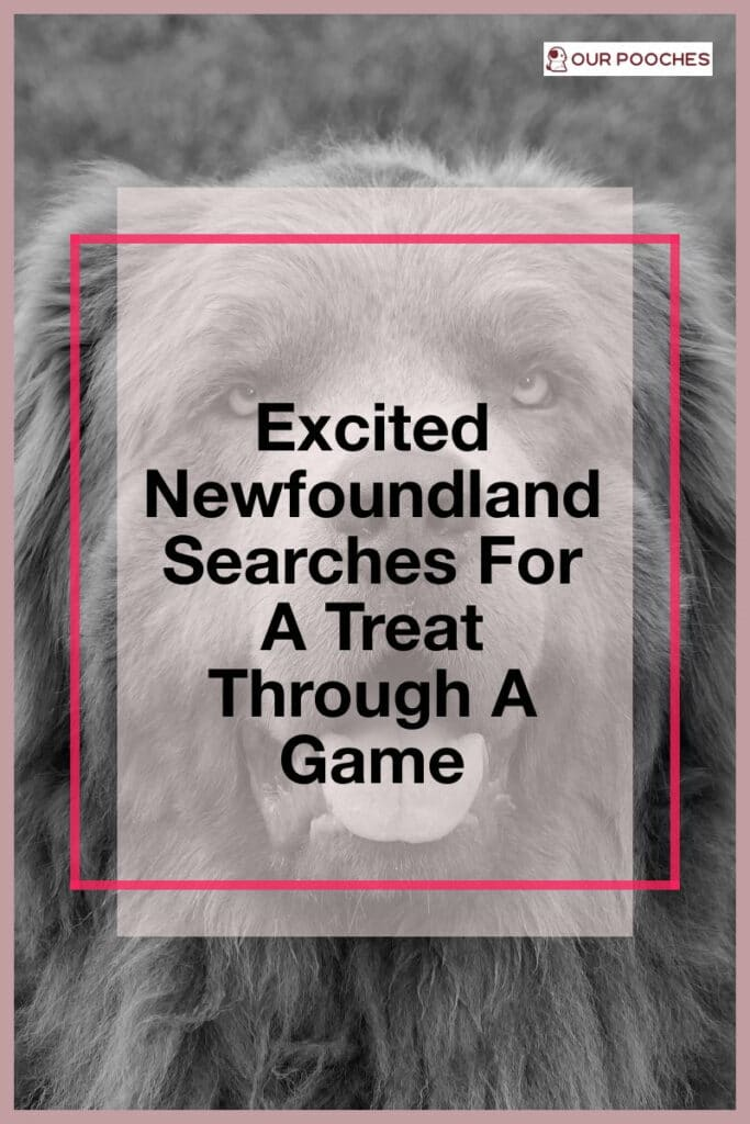 Excited Newfoundland Searches For A Treat Through A Game