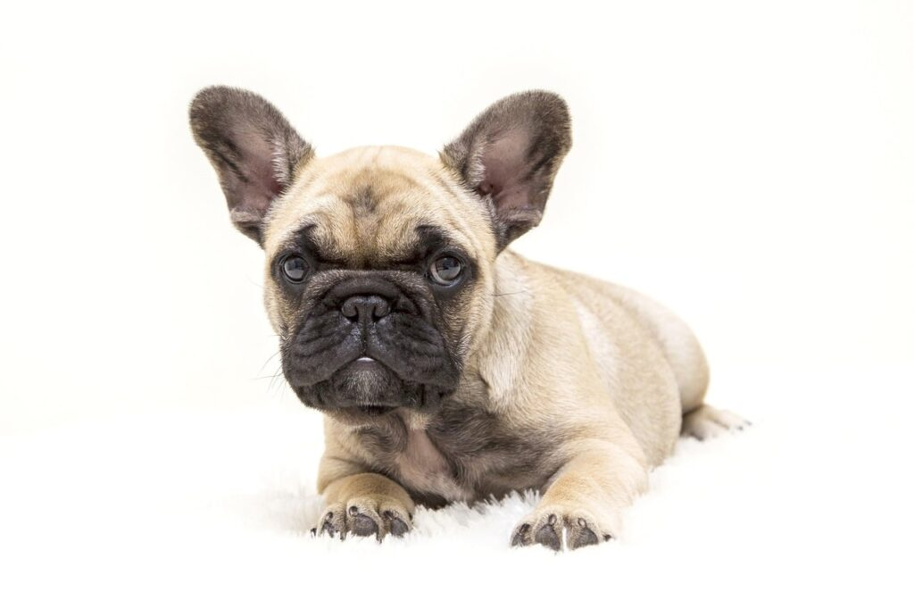 Adopted French Bulldog