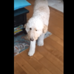 Curly-Haired Dog Does The Perfect Imitation Of Its Limping Master And It's All The Positive Vibes We Need