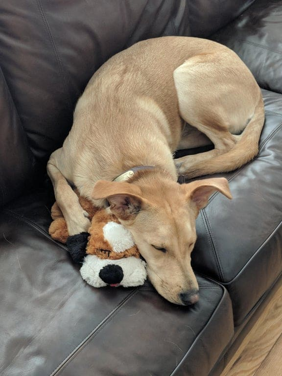 dog curled up with toy