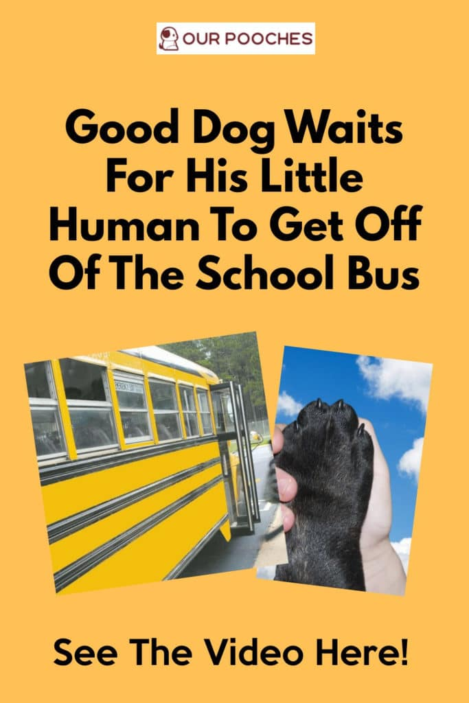 Good Dog Waits For His Little Human To Get Off Of The School Bus