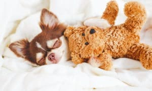 Dog sleeping tucked in with a teddybear.