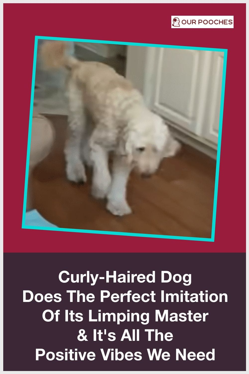 Curly-Haired Dog Does The Perfect Imitation