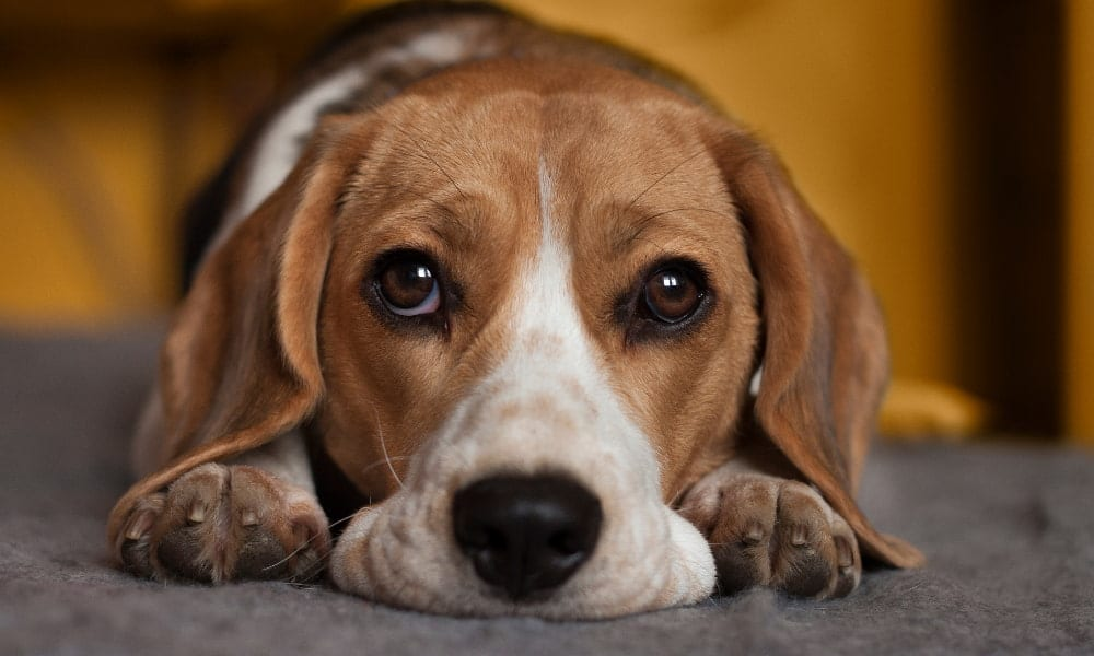 Do Dogs Cry, and What You Can Do to Help Them?