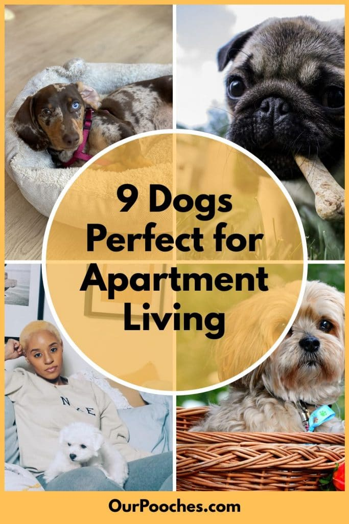 9 Dogs Perfect for Apartment Living